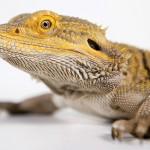 lizards dwindling