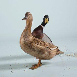 AttheY_DuckDuck_Spr14