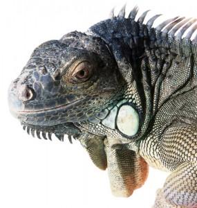 Geen Iguana
