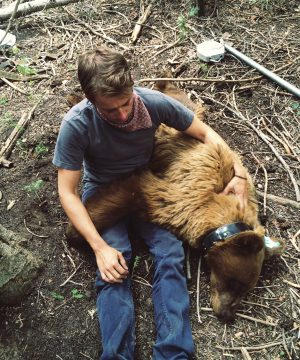 BYU student with a sedated grizzly bear.