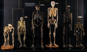 A row of skeletons that depict evolution standing on pedestals with labels.