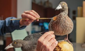Taxidermy ducks being treated by a conservator.