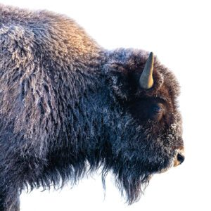 Side shot of a large bison from its neck up.